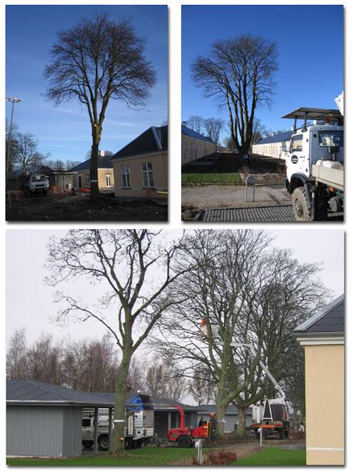 Træpleje af bevaringsværdige træer på flyvestation Værløse